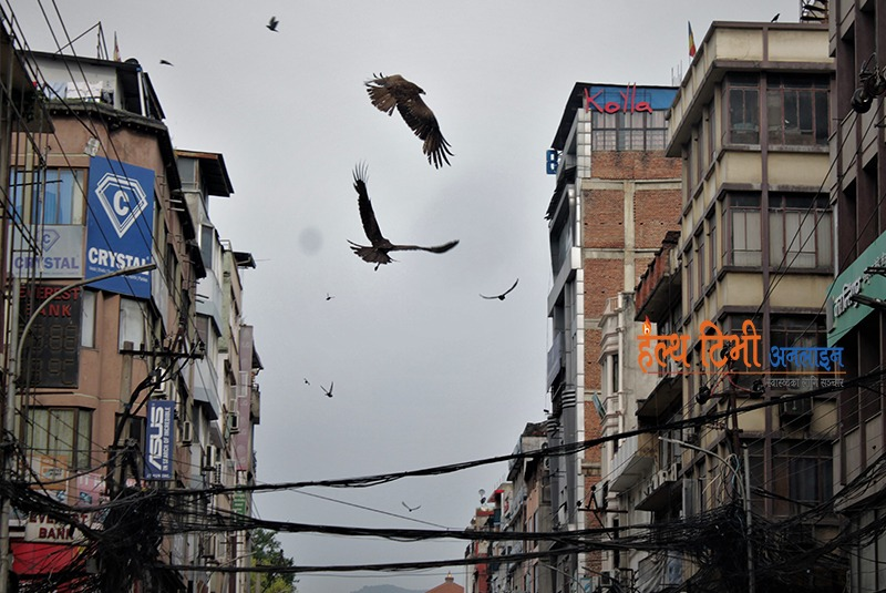 Two vultures fighting on sky above the New road entrance gate while few others seen flying around